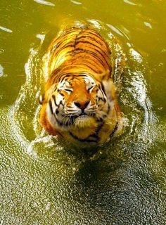 Fact: tigers are the only species of cat that like water