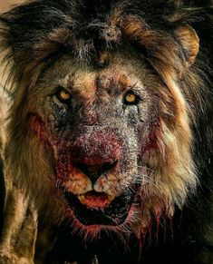 Insane Photos And Videos That Reveal The Brutal Side Of Nature - Memebase - Funny Memes Nature Animals, Animals And Pets, Cute Animals, Wildlife Nature, Lion Photography, Lion And Lioness, Lion Love, Lion Pictures, Daily Pictures