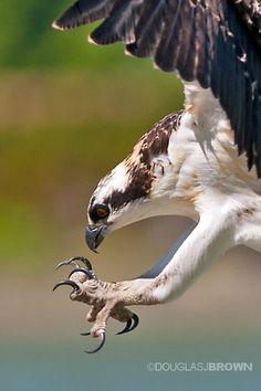 Talons--juvenile osprey by Douglas  Brown on 500px