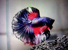 Wow,looks like a Puerto Rican betta!Live Betta Fish IMPORTED Super RARE HAWK ROSETAIL Over-Halfmoon Male