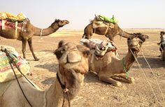 Take a camel safari through the desert landscape of Jaisalmer.