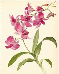 Beautiful VINTAGE ORCHID PRINT Pink Dendrobium Orchid Vintage 1972 Print Collectible Rustic Home Decor Botanical Print (Orchid 26)