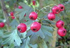 Edible Weeds - Crataegus monogyna - Hawthorn