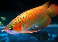 Arowana freshwater fish.