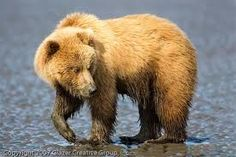 Alaska grizzly clamming