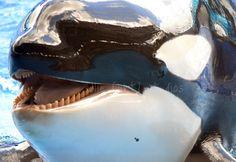my little baby Trua Seaworld Orlando, Cute Whales, Orcas, Killer Whales, Sea World, Animal Kingdom, Dolphins, Underwater, Wildlife