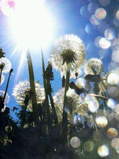 Sun light Shine Your Light, Beautiful Lights, Beautiful Roses, Dandelion Wish, Hello Sunshine, Sun Moon, Green Flowers, Natural Light