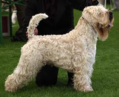 Wikipedia Irish Softcoated Weaten Terrier