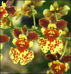 HOA GIEO TỨ TUYỆT 2 - Page 54 7d4e20ebe31c8afaa5e470347affd2ff--black-orchid-orchids