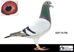 790 V, G. Prange Enkel 261 x Dijkstra Pico Bello - Auktions-Nummer 292347 - Die professionelle Brieftauben-Auktion!