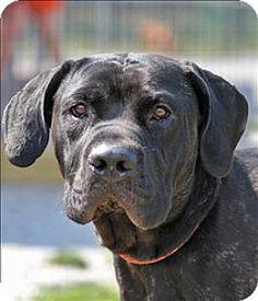 Columbus, OH - Mastiff Mix. Meet Garrison, a dog for adoption. http://www.adoptapet.com/pet/13625258-columbus-ohio-mastiff-mix