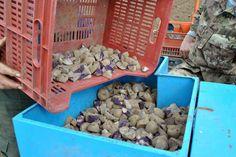 Semina patate VITELOTTE Lady Viola Grotte di Castro 2014