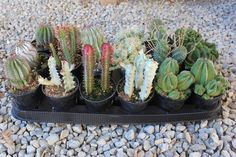 Euphorbias Cactus bulk wholesale succulent prices at the succulent source - 4 Growing Orchids, Growing Succulents, Cacti And Succulents, Planting Succulents, Planting Flowers, Orchid Plants, Cactus Plants, Buy Plants, Wholesale Succulents