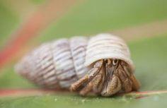 Caribbean Hermit Crab, close-up - Noel Hendrickson/Photodisc/Getty Images