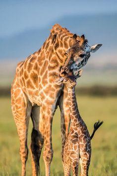 Giraffe Motherly Love  | mothers and babies | | wild life | #animals #wildlife  https://biopop.com/
