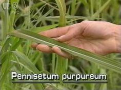 Elephant grass / napier grass (Pennisetum purpureum) is often considered invasive in Florida (US)