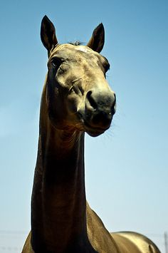 Akhal-Teke stallion Tarzan by Kerri-Jo, via Flickr