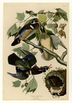 206 Summer or Wood Duck - User:Mturtle/The Birds of America - Wikimedia Commons
