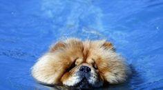 10 raças de cachorros que não nadam bem
