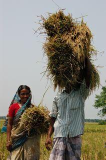 Anarkuli's husband carrying rice back home.