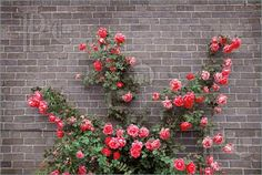 Rose Wall Art - Photograph - Roses On Brick Wall by Elena Elisseeva My Flower, Flowers, Rose Wall, Climbing Vines, Coming Up Roses, Planting Roses, Rose Bush, Plant Wall, Container Plants