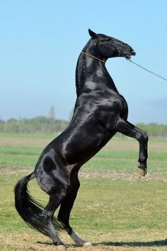 Top 10 Of Popular Horse Breeds in The World [No. 7 Awesome] Top 10 der beliebtesten Pferderassen der Welt [No. Horses And Dogs, Cute Horses, Horse Love, All The Pretty Horses, Beautiful Horses, Animals Beautiful, Akhal Teke Horses, Appaloosa, Clydesdale