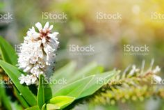 New Zealand Native Hebe in Flower royalty-free stock photo Native Plants, Flower Photos, Image Now, New Zealand, Nativity, Flora, Royalty Free Stock Photos, Photography, Beautiful