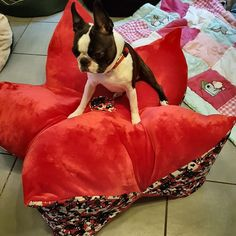 Boston Terrier, Dogs, Animals, Animales, Boston Terriers, Animaux, Pet Dogs, Doggies, Animal