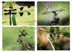Dragonfly photography prints 4x6 photograph post cards