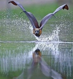 Water Spray – Photo by ©Michael Cleary – All Pictures Murcielago Animal, Beautiful Creatures, Animals Beautiful, Animals And Pets, Cute Animals, Bat Flying, Photo Animaliere, Fruit Bat, Cute Bat