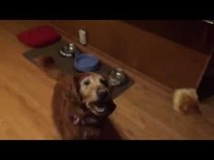 Golden Retriever Is Terrible at Catching Treats - PawNation