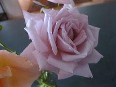 my gorgeous mauve roses Lady K, always amaze me in their velvet perfection :)