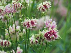 Aquilegia Nora Barlow (Akelei) heeft beeldschone, dubbele bloemen die roze, wit en groen gekleurd zijn.