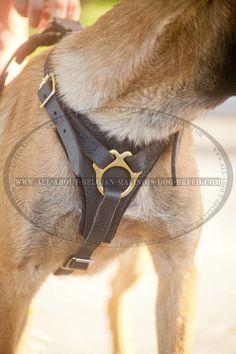 Impressive Belgian Malinois Dog Leather Harness For Training