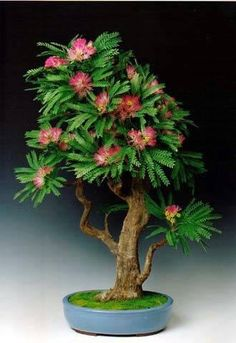 Bonsai--Oh my gosh it is a Mimosa (or bottlebrush) tree! This was one of my Mother's favorite trees when she moved to New Orleans. I would love to have this bonsai!