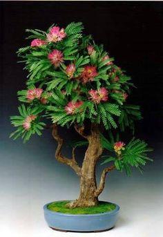 Bonsai - Oh, Dios mío, es un (o de botellas) Mimosa árbol! Este fue uno de los árboles favoritos de mi madre cuando ella se trasladó a Nueva Orleans. Me encantaría tener este bonsai