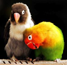 Lovebirds (genus Agapornis)