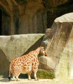 Midget Giraffe…