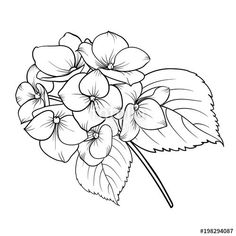 Blooming Flower Hydrangea On White Background. Pencil Drawings Of Flowers, Simple Line Drawings, Outline Drawings, Art Drawings, Flower Outline, Flower Art, Watercolor Flowers, Watercolor Art, Hydrangea Flower