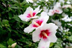 영원히 피어 지지 않는 꽃 무궁화