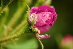 Macro shot of a pink rose with raindrops