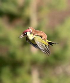 This Photo Of A Baby Weasel Riding A Woodpecker Is Hands Down The Coolest Picture Ever Taken