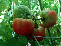 large ripening red tomatoes on plant in garden
