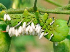 """Lagarta_com_vespas. Essas estruturas brancas presas na lagarta parecidas com ovos cilíndricos são na verdade pupas de uma vespa. Isso mesmo! Precisamos """"começar do começo""""…"""