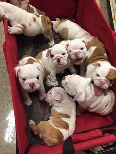 22 Reasons To Never, Ever Adopt A Bulldog - ᴬᴺᴵᴹᴬᴸˢ - Puppies Cute Bulldog Puppies, Cute Bulldogs, English Bulldog Puppies, Cute Little Puppies, Cute Dogs And Puppies, Baby Dogs, Baby Bulldogs, Doggies, Terrier Puppies