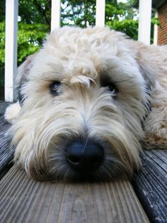 .wheaten terriers. the best dogs out there.