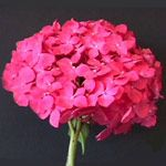 Dark Pink - Hydrangea - Flowers and Fillers - Flowers by category | Sierra Flower Finder