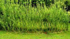 Živé stavby z vrby - vrbové stavby - Proutěné ploty a rohože na plot   Vrbové stavby - Naše realizace Living Willow, Nasa, Herbs, Herb, Medicinal Plants
