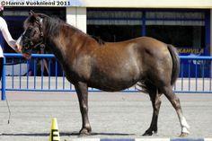 Gotland Pony - mare Allgunnens Timmie