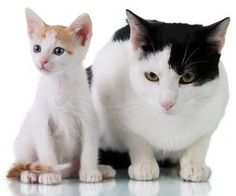 導讀:發現貓咪開始慢慢發福起來,稍微胖胖的樣子挺可愛,所以很多飼主都會不以為意。其實貓咪身材開始走樣,都是警示你,貓咪飲食需要改變,也要讓貓動一動,如果不及時幫貓減肥,等貓咪變胖會更懶,惡性循環,要減肥就更困難。
